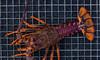 Quality NZ Crayfish