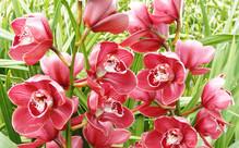 Minimum of Eight Orchid Stems