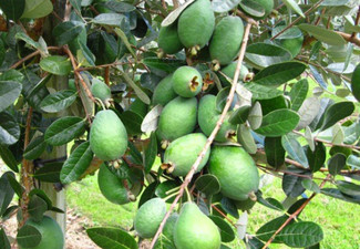 1.5kg of Large Feijoas - Options for 3kg or 5kg