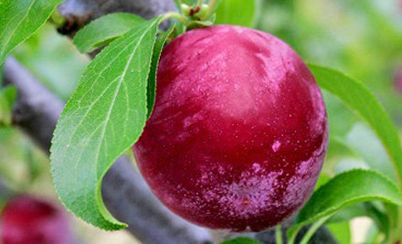 From $25 for a Plum Plant incl. Delivery