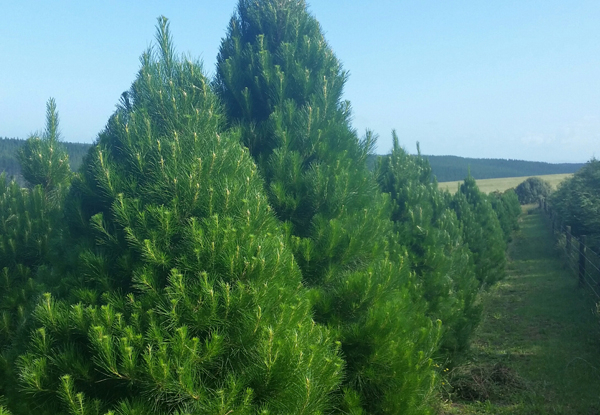 Premium Christmas Tree - Three Sizes with Delivery or Pick Up Location Available  - Auckland Only