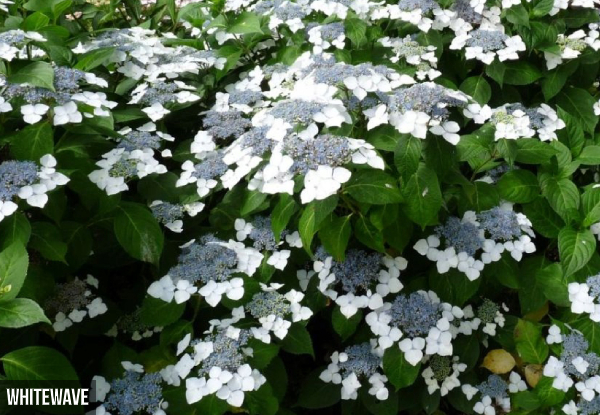 Large Hydrangea Plant - Five Options Available & Option for Three