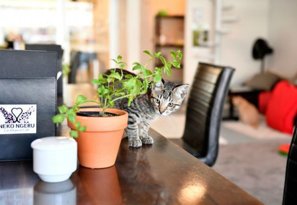 Cat Cuddles & Coffee incl. One-Hour in the Cat Room & One Regular Hot Drink for One-Person - Option for Two People Available
