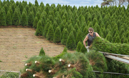 From $25 for a Christmas Tree incl. Removal after Christmas (value up to $70) - Choose from Two Sizes & Six Pickup Locations