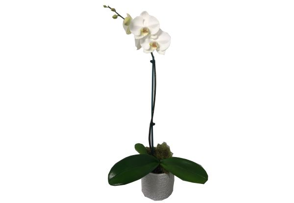Phalaenopsis White Orchid - Options for Gift Wrapping or Ceramic Pot Available